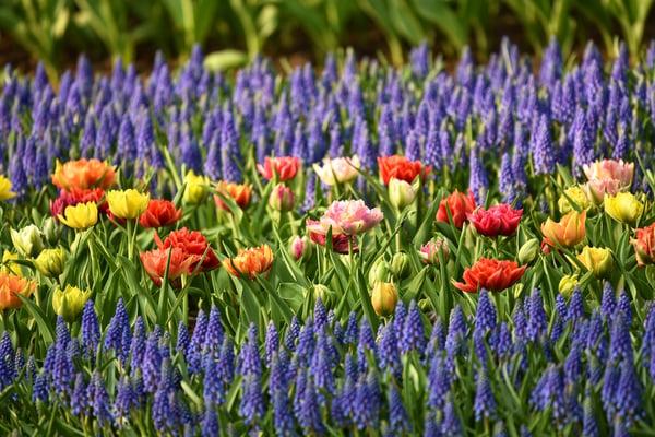 flower-bed-lavender-garden